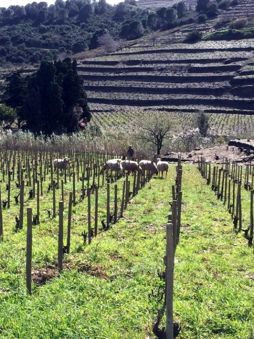 Brebis dans les vignes
